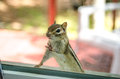 A Cute Adorable Chipmunk With Both Front Paws, Feet On The Window, Looking Inside My House. Royalty Free Stock Photography - 75263877