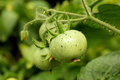 Aphids On The Green Tomato Stock Photography - 75276272