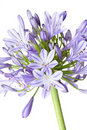 Agapanthus - African Lily Stock Photography - 7530742