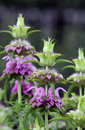 Monarda, Lemon Beebalm Stock Photography - 75305042