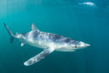 Blue Shark Swimming In Sunlit Waters Royalty Free Stock Image - 75344016