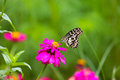 Butterfly In Garden And Flying To Many Flowers In Garden, Beautiful Butterfly In Colorful Garden Or Insect Farm, Animal Or Insect Royalty Free Stock Photography - 75346047