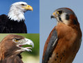 Birds Of Prey Collage Royalty Free Stock Image - 7545716