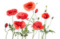 Red Poppies Royalty Free Stock Photography - 75413077