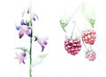 Raspberries Fruit, Leaves Bell Flowers Graphic Icon Waterco Stock Photos - 75417303