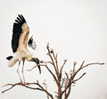 Wood Stork In Tree Royalty Free Stock Photos - 75425668