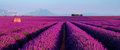 Lavender Field In The South Of France Stock Photo - 75443590