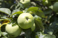 Green Apples On A Branch Royalty Free Stock Photo - 75446195