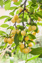 Lot Of Yellow Cherry Plum On A Branch On A Sunny Summer Day Royalty Free Stock Photo - 75448015