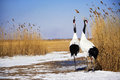 Red-crowned Crane In Zhalong Nature Reserve Qiqihar Stock Photography - 75465692