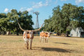 Two Texas Longhorns And The Windmill Royalty Free Stock Photography - 75497117