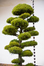 JAPANESE PINE TREE WITH BELLS Stock Photography - 7559712