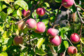 Many Red Apples Hanging On The Tree Royalty Free Stock Image - 75504316