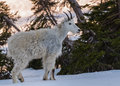 Young Mountain Goat Stands In Snow Royalty Free Stock Image - 75510166