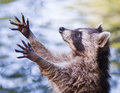 Racoon Begging For Food Royalty Free Stock Photography - 75516597