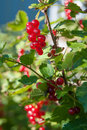 Red Currant Stock Image - 75545011