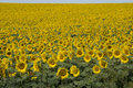 Sunflowers In Hungary Stock Photos - 75553483