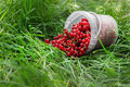 Red Currant Berries In Plastic Can On Grass Stock Photos - 75574203