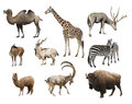 A Collage Of Animals Mammals Artiodactyla Royalty Free Stock Photos - 75583478