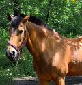 Portrait Of A Brown Horse Close Up. Royalty Free Stock Images - 75594849