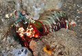 Mantis Shrimp Royalty Free Stock Photo - 7560845