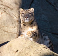 Snow Leopard Royalty Free Stock Photo - 7561645