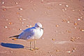 Seagull Stock Images - 75600214