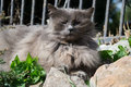 Portrait Of Thick Long-hair Gray Chantilly Tiffany Cat Relaxing In The Garden. Close Up Of Fat Female Cat With Large Long Hair Stock Photo - 75623840
