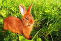 Red New Zealand Rabbit In Green Grass Stock Image - 75631921