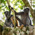 Mother And Baby Of Silvered Leaf Langur Monkey Stock Photos - 75654563