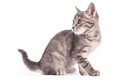Gray Kitten On A White Background Stock Images - 75684234