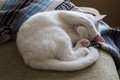 White Cat Curled Up On Couch Stock Images - 75693214