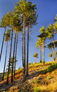Tall Pine Trees Stock Photos - 7572133