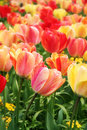 Spring Tulips Close-up Royalty Free Stock Image - 7574916