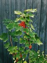 Bush Of Red Currants Stock Image - 75700021