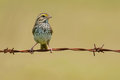 Savannah Sparrow Royalty Free Stock Image - 75702976