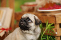 Beautiful Pug Dog Puppy Outdoors On Summer Day Royalty Free Stock Image - 75707066