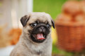 Beautiful Pug Dog Puppy Outdoors On Summer Day Stock Photo - 75707200