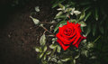 Beautiful Velvet Rose. Fatal Beauty Royalty Free Stock Image - 75759176