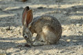 Desert Cottontail Rabbit In Joshua Tree National Park, Royalty Free Stock Images - 75762379