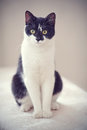 Cat Of A Black-and-white Color Stock Images - 75812384
