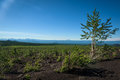 Rebirth Of A Forest On The Volcanic Landscape Around Tolbachik Volcano Royalty Free Stock Images - 75836799