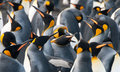 King Penguins On Gold Harbour Stock Photography - 75846572