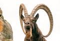 One Great Siberian Ibex Stock Photography - 75852152