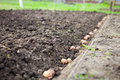 Finished Process Of Planting Potato Field In The Vegetable Gard Royalty Free Stock Image - 75940376
