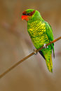 Mindanao Lorikeet Or Mount Apo Lorikeet, Trichoglossus Johnstoniae, Green And Red Parrot Sitting In The Branch, Clear Brown Forest Royalty Free Stock Photo - 75943325