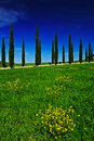 Yellow And Green Flower Field With Clear Dark Blue Sky, Tuscany, Italy. Yellow Meadow With Flower. Yellow Bloom With Cypress Tree Royalty Free Stock Photo - 75943735