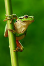 Nice Green Amphibian European Tree Frog, Hyla Arborea, Sitting On Grass With Clear Green Background. Beautiful Amphibian In The Na Stock Images - 75944004