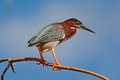 Heron Sitting On The Branch With Blue Sky. Green-backed Green Heron, Butorides Virescens, In The Nature. Heron On The Sky With Whi Royalty Free Stock Images - 75944049
