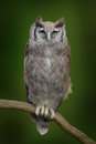 Verreaux S Eagle Owl. Rare African Owl In The Nature Habitat. Owl From Africa Sitting On The Branch. Royalty Free Stock Photos - 75944278